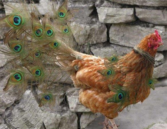 chicken illusion